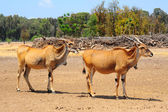 Eland, Taurotragus oryx, Is The Largest Of All Antelopes — Stock Photo
