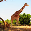 Stock Photo: Couple of Giraffes