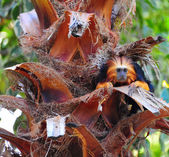 Tamarin — Stock Photo