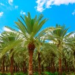 Date Palm. - Stock Photo