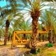 Date Palm Plantation. - Stock Photo