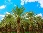 Date Palm. — Stock Photo