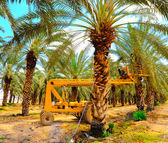 Date Palm Plantation. — Stock Photo