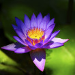 Water Lily — Stock Photo #2044639