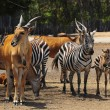 Royalty-Free Stock Photo: Eland and Zebra