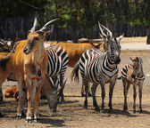 Eland and Zebra — Stock Photo
