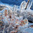 Stock Photo: Icing of ledum