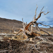 Stock Photo: Roots of dead tree on slope of hill