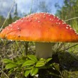 Royalty-Free Stock Photo: Fly Agaric.