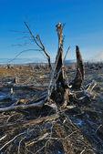 Dead trees in suburb. — Stock Photo