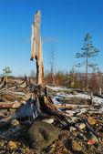 The dead trees — Stock Photo