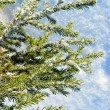 Royalty-Free Stock Photo: Evergreen fur-tree.