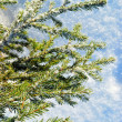 Stock Photo: Evergreen fur-tree.