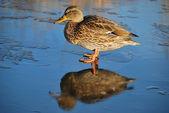 Duck On Thin Ice — Stock Photo