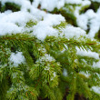 Evergreen fur-tree - Stock Photo