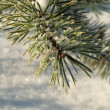 Hoarfrost on needles of a pine — Stock Photo
