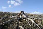 Dry stump — Stock Photo