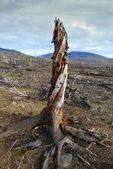 Old rotten stub — Stock Photo