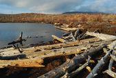Dead trees on coast — Stock Photo