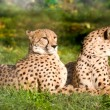 Couple of cheetahs — Stock Photo