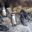 Penguins — Stock Photo #1031754