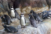 Pinguins — Fotografia Stock