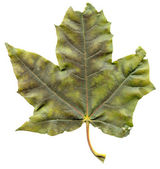 Maple leaf — Stock Photo