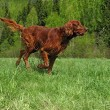 Stock Photo: Running setter