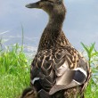 Duck with a duckling — Stock Photo
