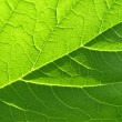 Leaf texture — Stock Photo #1030743