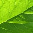 Leaf texture — Stock Photo #1030743