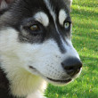 Stock Photo: Husky