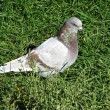 Pigeon — Stock Photo