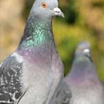 A portrait of a rock pigeon — Stock Photo #1030873