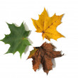 Three leaves — Stock Photo