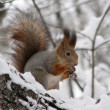 Foto de Stock  : Squirrel