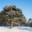 Pine-tree in winter — Stock Photo