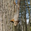 Squirrel on a tree — Stock Photo #1038494