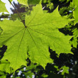 Maple leaf — Foto Stock #1039691