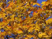 Golden maple — Stock Photo