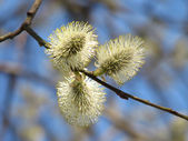 Pussy-willow — Stock Photo