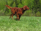 Running setter — Stock Photo