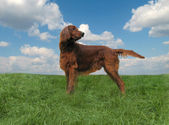 Red setter — Stock Photo