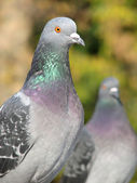 A portrait of a rock pigeon — Stock Photo