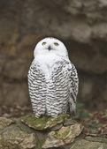 Sněžná sova 2 — Stock fotografie
