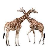 Two giraffes — Stock Photo