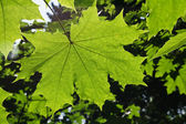 Maple leaf — Stockfoto