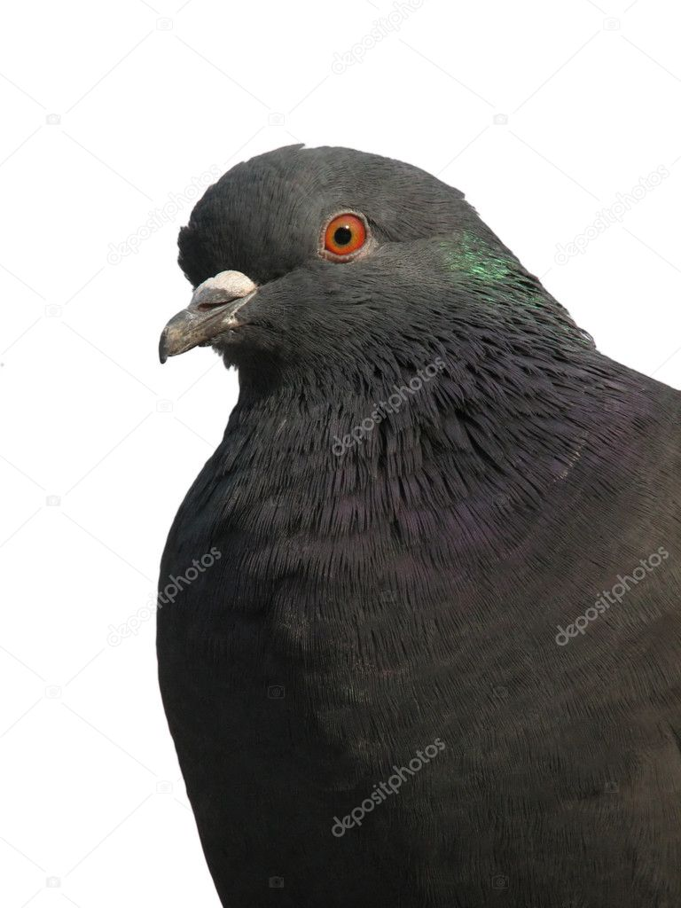 An isolated photo of a pigeon on a white background — Stock Photo #1030878