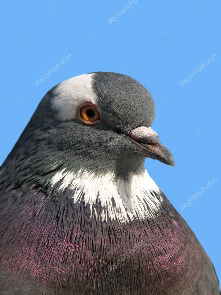 A portrait of a rock pigeon against blue sky — Stock Photo #1030888
