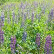 Lupine field - Stock Photo